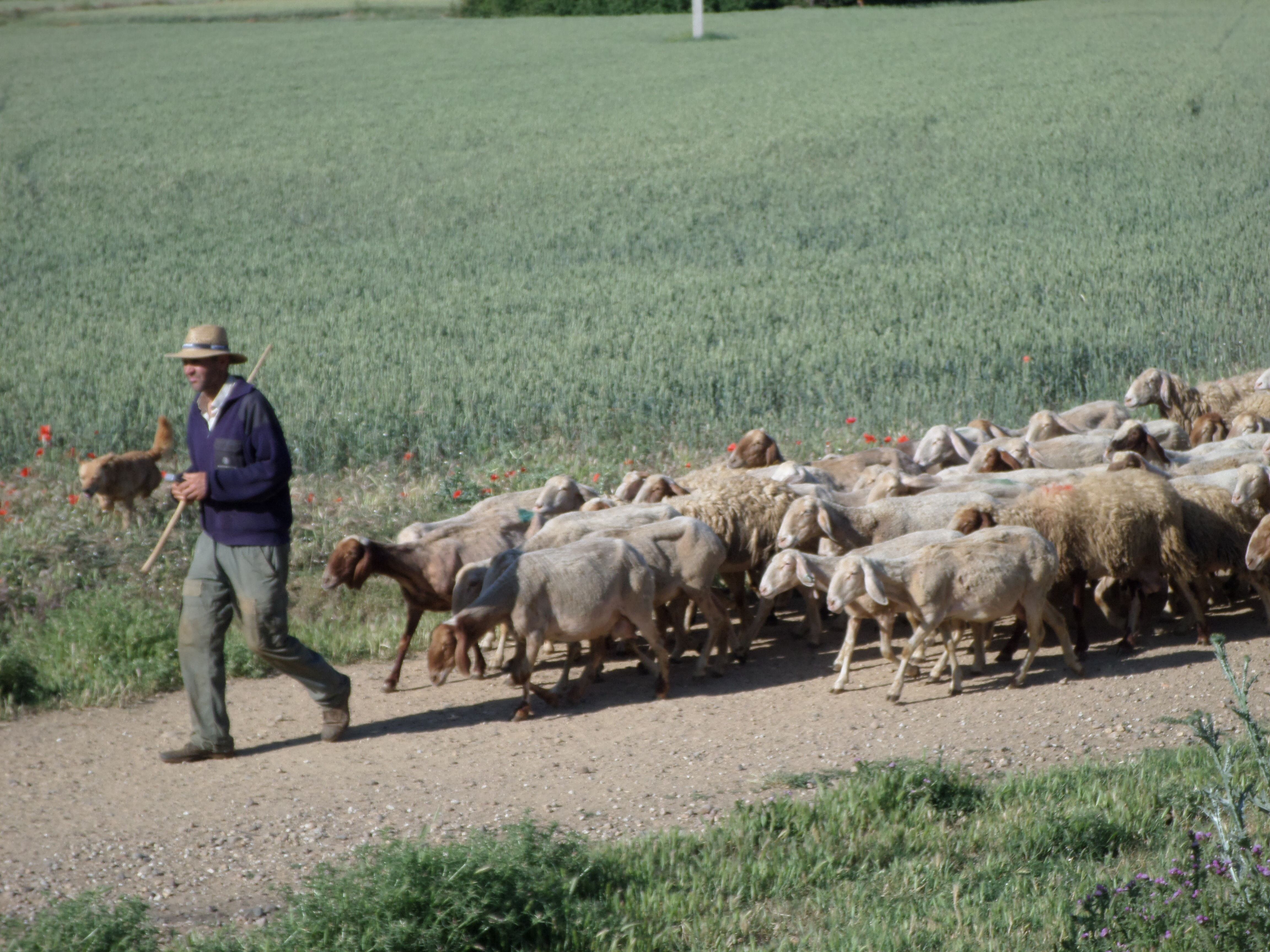 Photo of a man followed by a flock of sheep in Spain